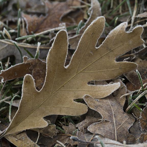Fog leaf 1000531 BLOG