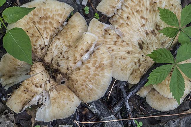 Fungi 1080467 FB