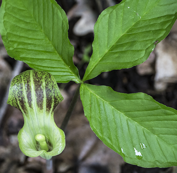 Jack in pulpit 1080417 FB
