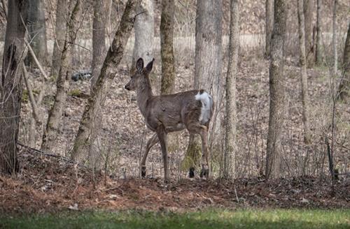 Deer ornament 1100916 BLOG