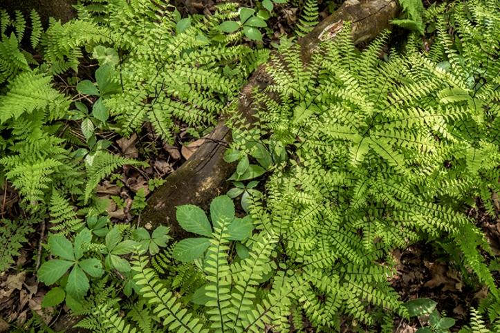 Frontenac ferns 1320175 FB