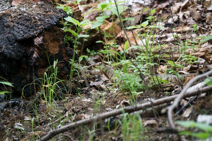 Frontenac rattlesnake 1320067 FB