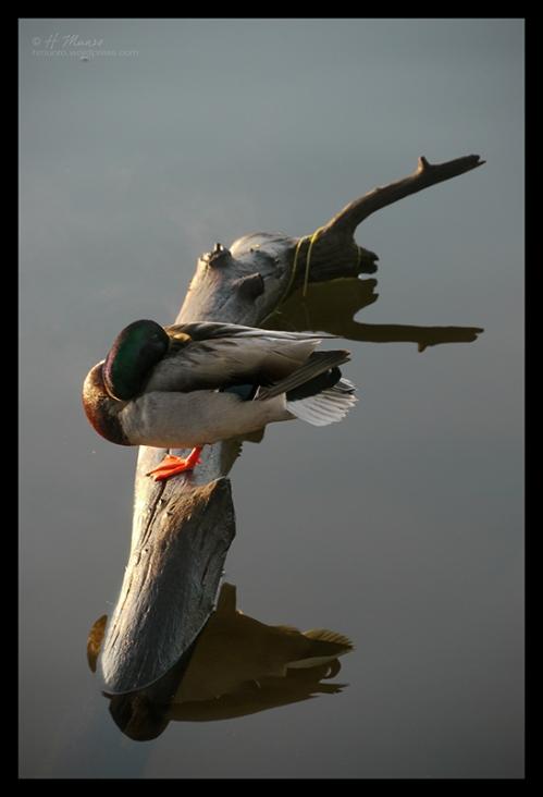 Como Lake duck 1230601 CL BLOG