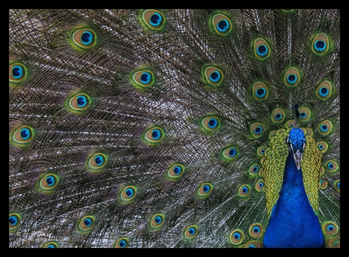 Peacock on parade