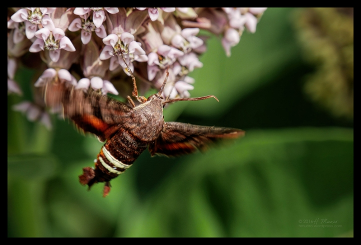 Hummingbird moth 1000274 BLOG