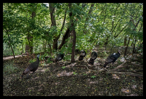 wild-turkeys-1040836-blog