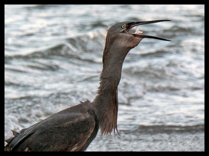 Florida beach heron 1030798 CR BLOG