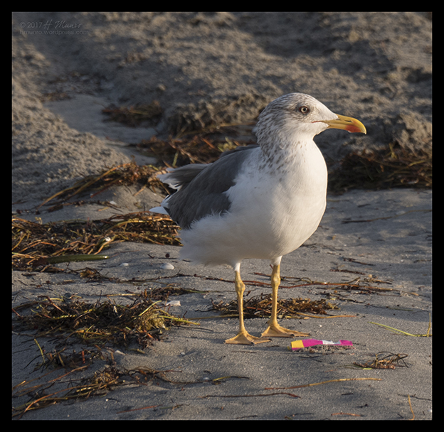 Florida gull 1030401 CR BLOG