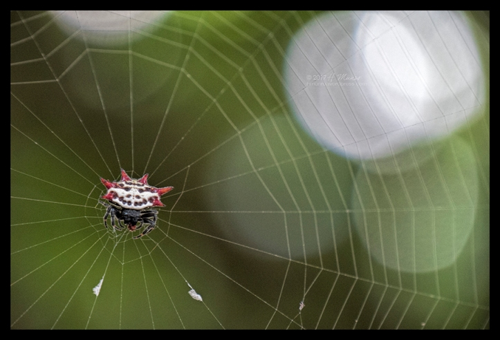 Spiny Orb Weaver 1030467 CL BLOG