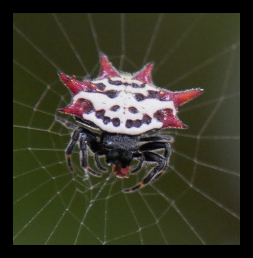 spiny-orb-weaver-1030469-detail-blog
