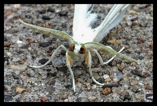 Cross-eyed moth IMG_6180 DETAIL BLOG