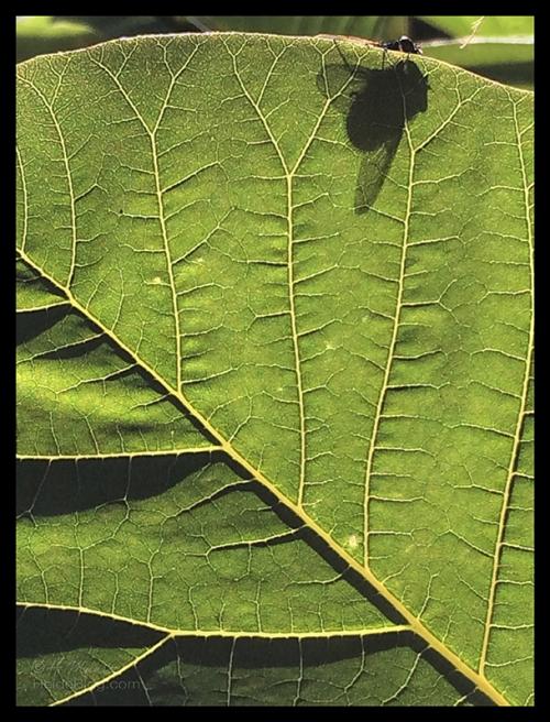 Fly on a leaf IMG_6011 BLOG