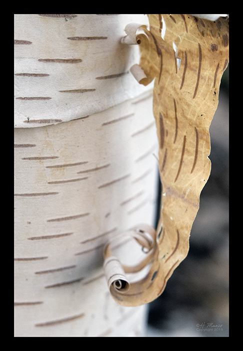 Birch bark 1850550 CL BLOG