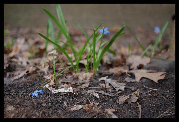 Blue blooms 1860635 BLOG