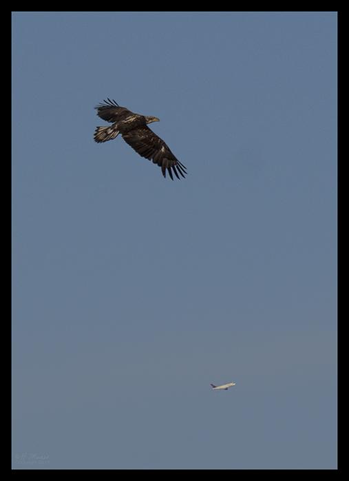 Como juvenile eagle 1870118 BLOG