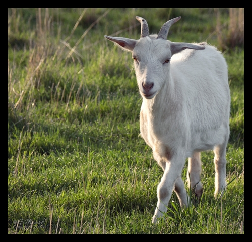 GIbbs farm goat 1290632 CR BLOG