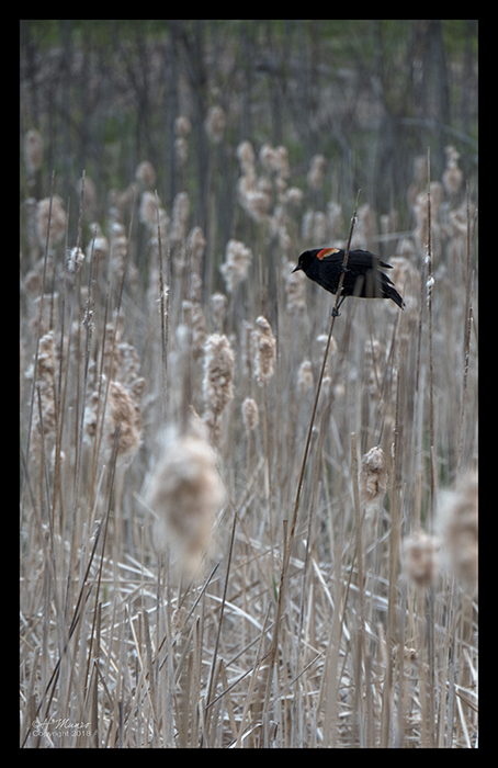 Red winged blackbird 1290372 BLOG
