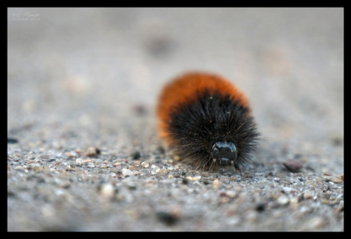 Wooly caterpillar 1870026 BLOG