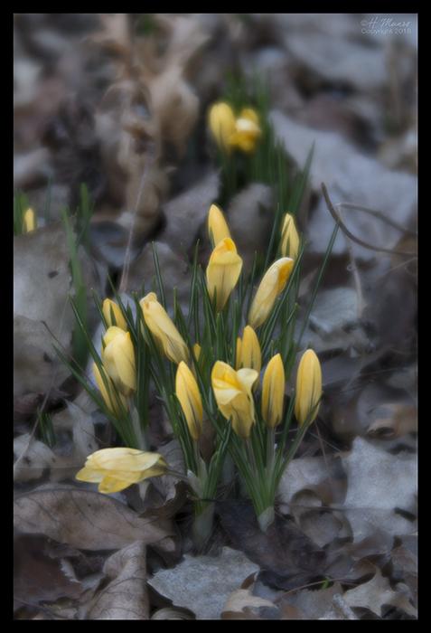 Yellow crocuses 1850594 BLOG