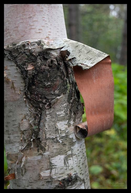 Birch bark 1350667 BLOG