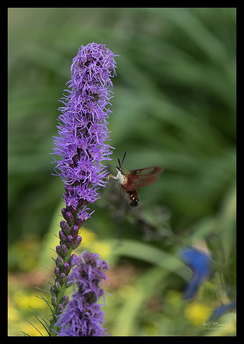 Hummingbird moth 1330333 BLOG