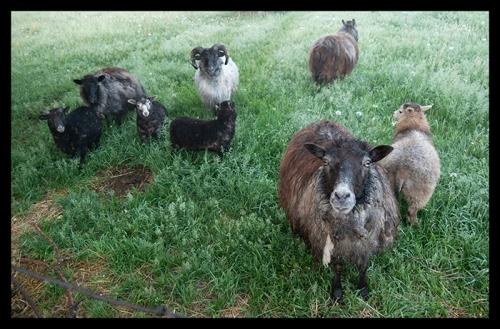 Hungry sheep 1310485 BLOG