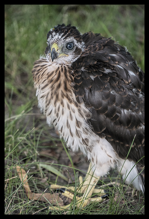 Juvenile hawk 1320705 BLOG