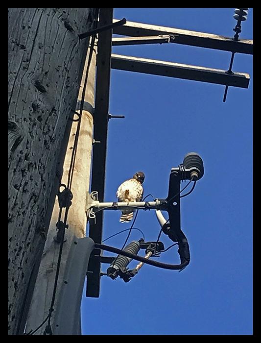Juvenile hawk IMG_9010 BLOG.jpg
