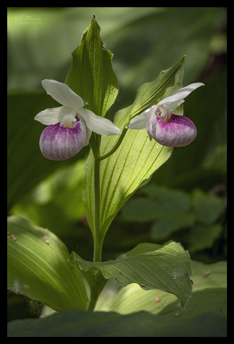 Lady slippers 1320089 BLOG