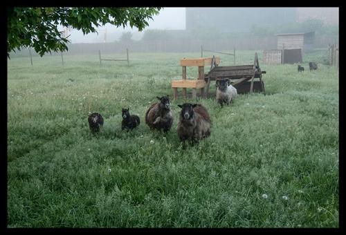 Sheep stampede 1310480 BLOG