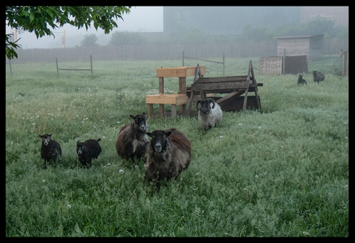 Sheep stampede 1310481 BLOG