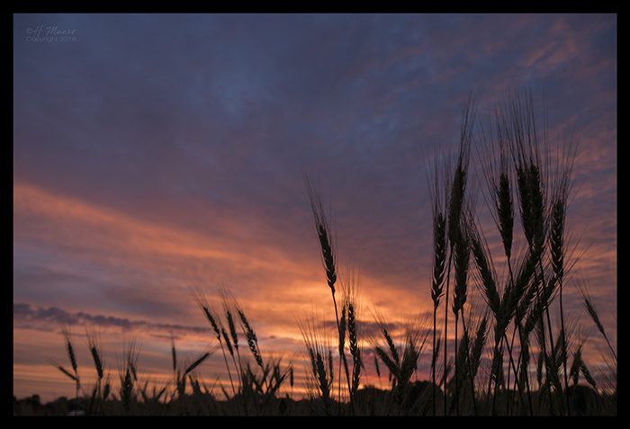 Wheat sunrise 1320409 BLOG