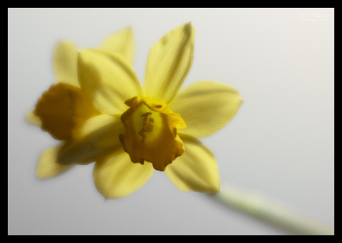 Daffodils in hallway 1390517 BLOG