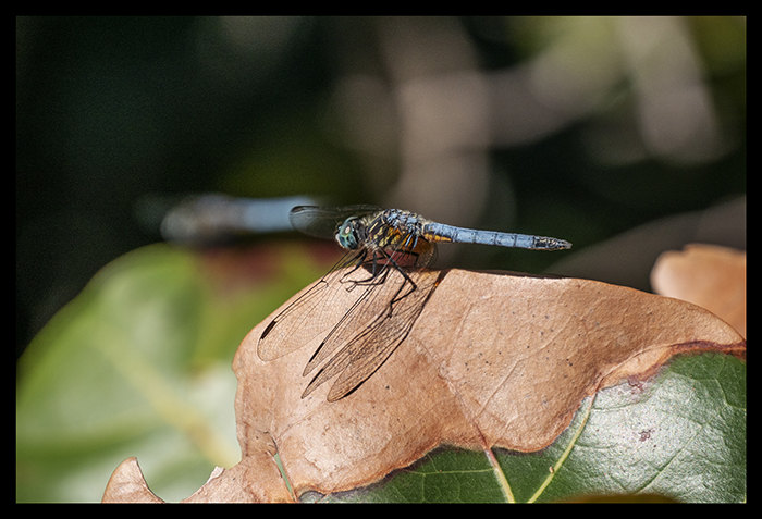 Dragonflies 1000326 BLOG