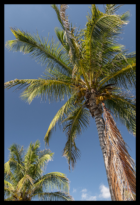 Palms and coconuts 1000227 BLOG