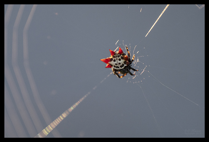 Spiny orb weaver 1000156 BLOG