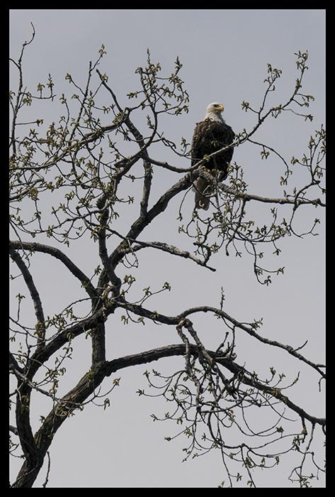 Bald eagle 1400293 CROP BLOG