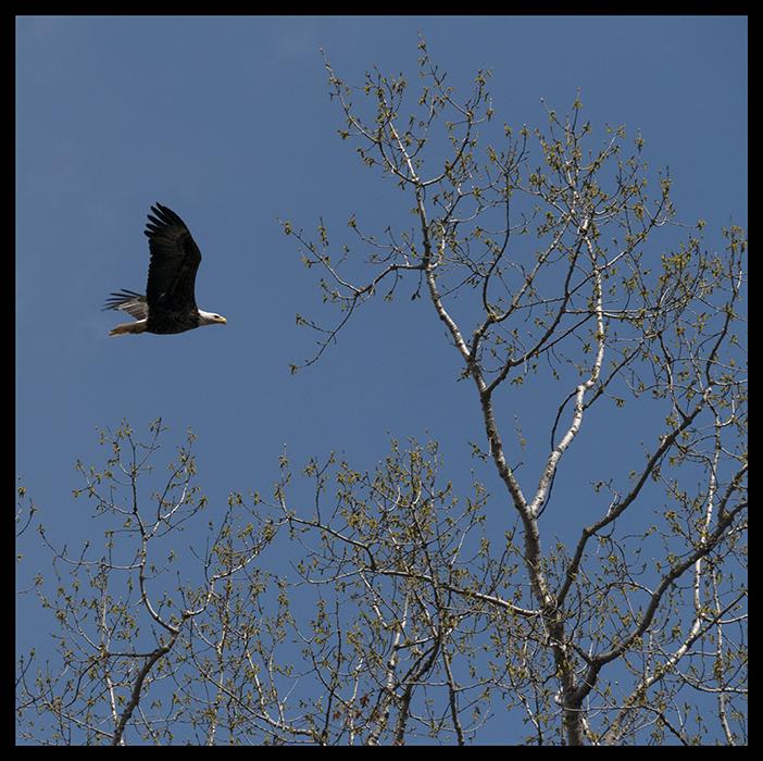 Bald eagle 1400298 BLOG